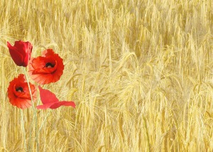 red-poppy-hay