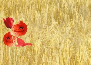 red-poppy-hay